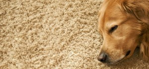 Pet Stains & Carpet Care