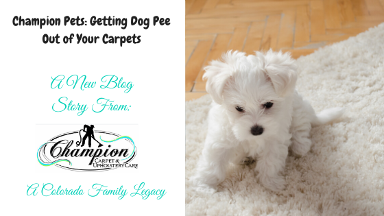Champion Pets: Getting Dog Pee Out of Your Carpets